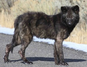 Yellowstone wolf pup with mange