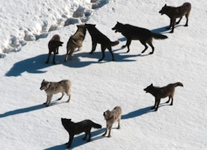 Temporal variability in wolf habitat selection