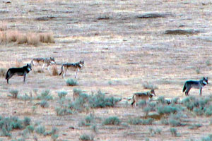 Wolf photos such as this are very useful in assessing who was present within the pack at the time the photo was taken