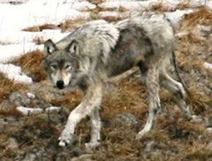 yellowstone wolf project citizen science