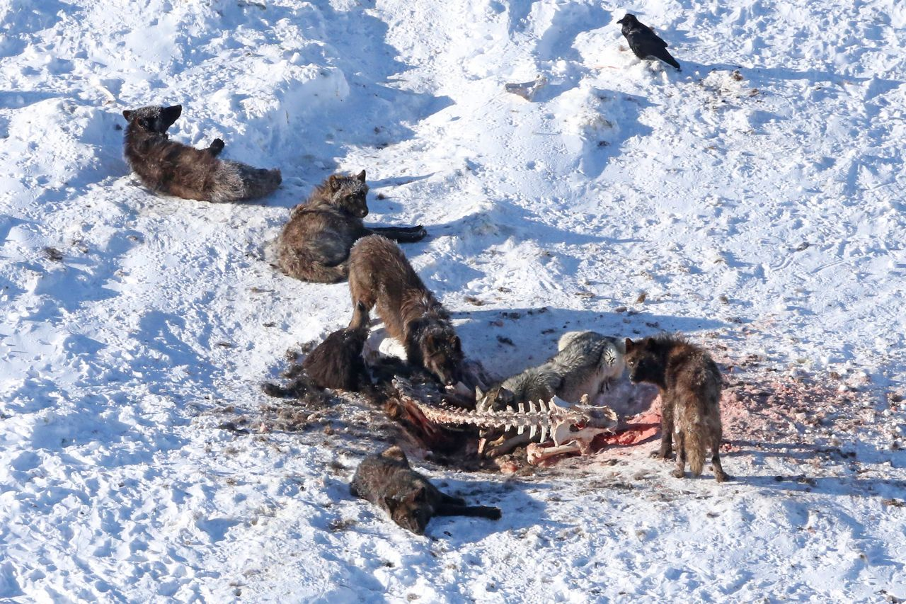 Image result for hunting wolf pack images winter